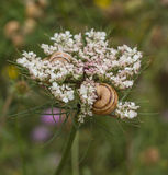 Wild Carrot flower with Mediterranean Snails Royalty Free Stock Images