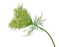 Wild Carrot Flower. Queen Anne's Lace (Wild Carrot) Daucus carota flower isolated on white Royalty Free Stock Photos
