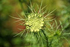 Wild carrot flower royalty free stock image