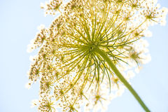 Wild carrot flower of the wildflower. Wild carrot, flower of the wildflower in bright sunny lighting Royalty Free Stock Image
