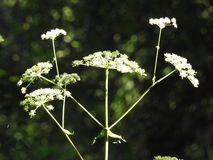 Wild carrot flowers Royalty Free Stock Images