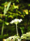 Wild carrot flowers Royalty Free Stock Image