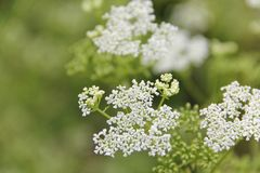 Wild carrot flowers Stock Photos