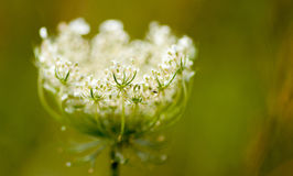 Wild carrot forming a globe Stock Images