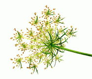 Wild carrot Stock Images