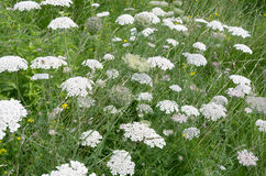Wild carrot. Stock Photos