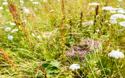 Wild Carrot plants blooming and budding Royalty Free Stock Photo