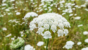 Wild Carrot plants blooming and budding Royalty Free Stock Photography