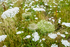Wild Carrot plants blooming and budding Stock Photography