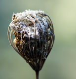 Wild carrot seed head in winter Royalty Free Stock Image