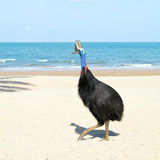 Wild Cassowary on the beach in Australia. Wild cassowary on the beach in North Queensland Australia. These large flightless tropical birds are the third largest Royalty Free Stock Images