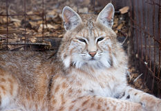Wild Cat. A wild cat caged in a zoo Stock Photography
