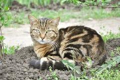 Wild cat Royalty Free Stock Photos