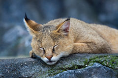 Wild cat. Sleeping on big rocks royalty free stock photo