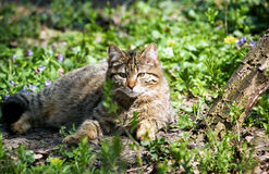 Wild cat. Resting inside a zoo Royalty Free Stock Images