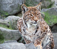 Wild cat. In the zoo Stock Images