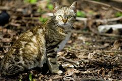 Wild cat. Photo of a wild cat hunting in nature Stock Image