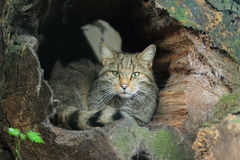 Wild cat. The wild cat lying in the decayed tree trunk Stock Photos