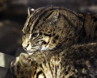 Wild cat. Far East wild cat Stock Image
