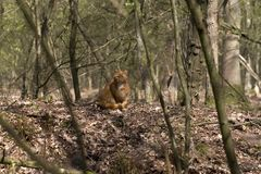 Wild cat. In the Woods on the Veluwe, Netherlands Stock Photography
