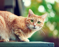 Wild cat. A green eyed cat sitting on a patio wall outside stock photography