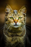 Wild cat. Portrait of a sad wild cat Royalty Free Stock Image