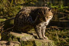 Wild cat. A wild cat is scratching his ear royalty free stock image