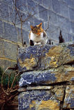 Wild cat. A wild cat sitting on a rock wall Royalty Free Stock Photo