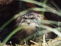 Wild cat. Cat in wild Stock Photos