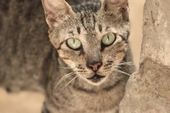 Wild Cat aggressive , wildlife animal stock image