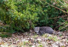 Wild cat in ambush on a hunt in the park of Budapest, Hungary royalty free stock photography