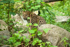 Wild cat. Amur leopard in open-air cage Royalty Free Stock Photos