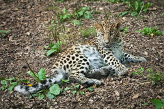 Wild cat. Amur leopard in open-air cage Stock Images