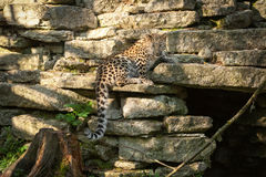 Wild cat. Amur leopard in open-air cage Stock Photo