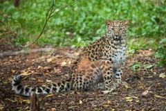 Wild cat. Amur leopard in open-air cage Stock Photos