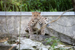 Wild cat. Amur leopard in open-air cage Stock Image