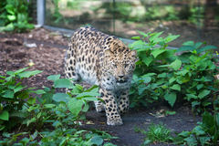 Wild cat. Amur leopard in open-air cage Stock Photography