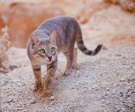Wild cat approaching Stock Photography