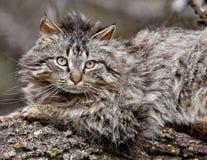 Wild Cat on Branch. Saskatchewan Canada Royalty Free Stock Photography