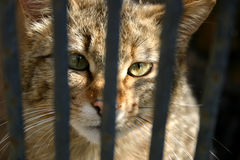 Wild cat in the cage. Focus on the eyes Stock Image