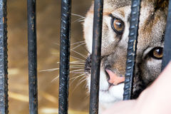 Wild cat in a cage zoo Royalty Free Stock Image