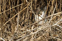 wild cat camouflaged among the reeds hunting for small birds Royalty Free Stock Photo