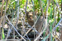 Wild Cat camouflated in Reed in Danube Delta Stock Photography