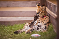 Wild cat in captivity Stock Photos