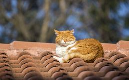Wild Cat. S on roof taken in Sofia, Bulgaria stock image