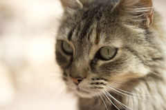 Wild cat close up. On a blurred background Royalty Free Stock Image