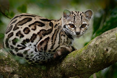 Wild cat from Costa Rica. Margay, Leopardis wiedii, beautiful cat sitting on the branch in the tropical forest, Central America. W Royalty Free Stock Photo