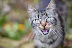 Wild Cat. Cute little cat showing teeth in the wild Royalty Free Stock Image