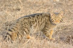 Wild Cat in Danube Delta Stock Image