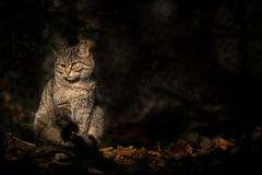Wild cat in a dark forest Stock Images